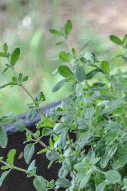 Origanum majorana ali Majaron (vrtni, sladki origano, dobra misel)