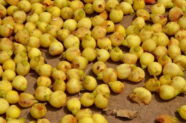 प्रातः बिखरे महुआ के हलके पीले पुष्प