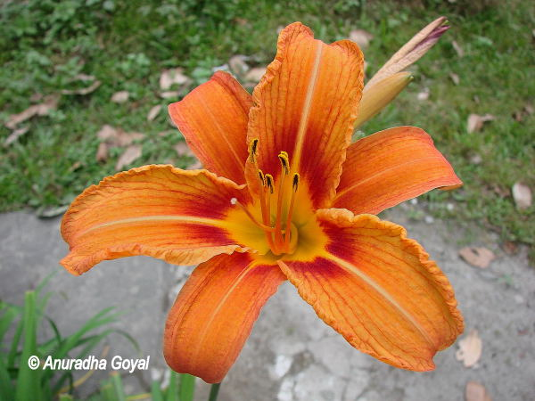 आर्किड का खिला हुस फूल