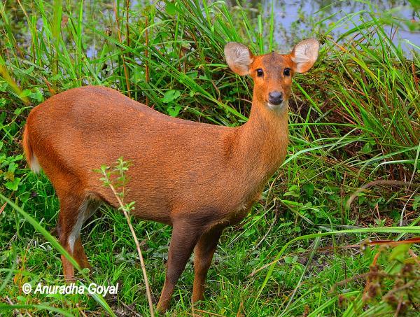काजीरंगा राष्ट्रीय उद्यान में हिरण