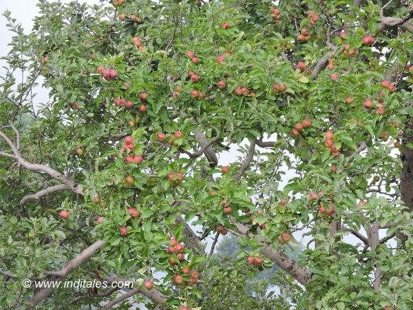 हिमाचली सेब से ले पेड़