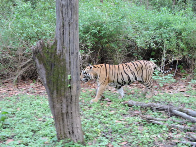 पर्यटकों से बेपरवाह मुन्ना बाघ