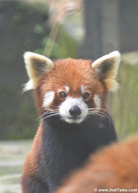 Red Panda - Gangtok