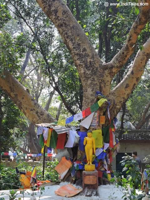 बोधि वृक्ष - लुम्बिनी