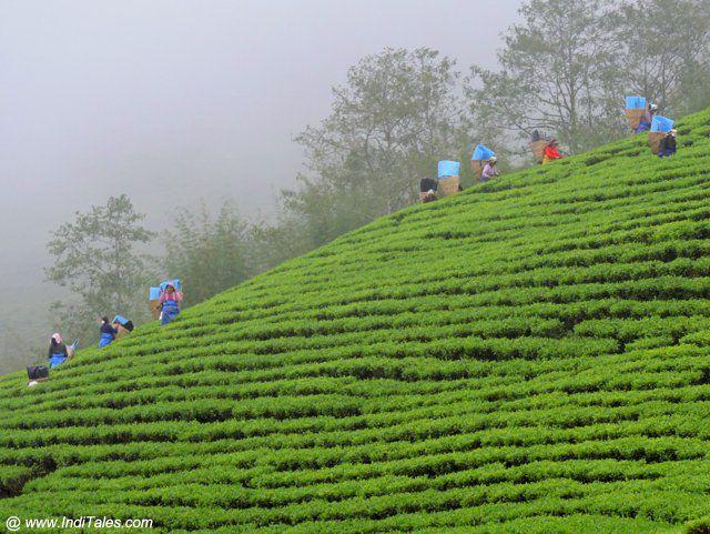 दार्जीलिंग के चाय बागान