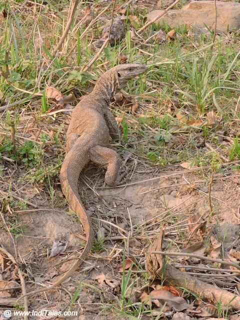 गोह - राजाजी राष्ट्रीय उद्यान