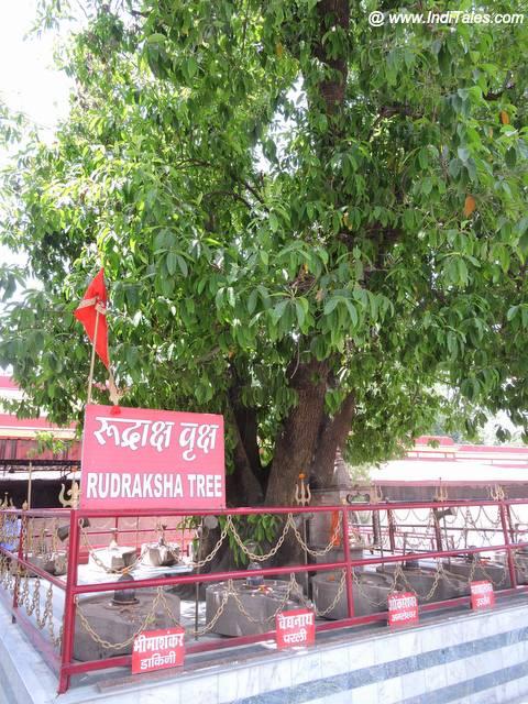 हरिहर आश्रम का रुद्राक्ष वृक्ष