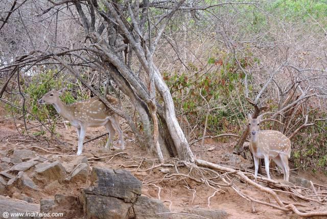 थिरुकोनेश्वर मंदिर के प्रांगन में हिरण