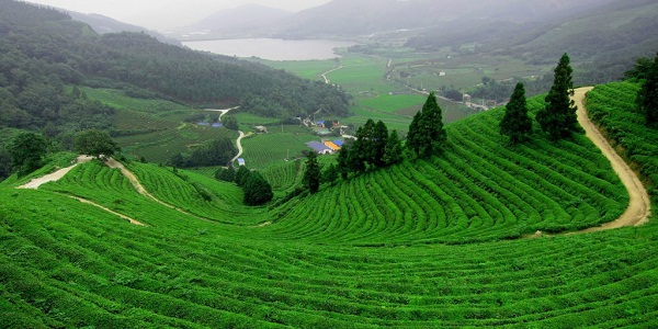 Don't miss these lush greens of tea gardens.