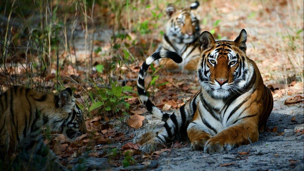 tigers-tadoba-national-park