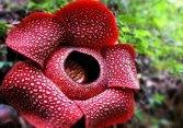 qeyri adi bitkilər Rafflesia Arnoldi