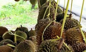 durian sinapeul festival durian sindangwangi - indonesia traveller guide - wisata duren sindangwangi