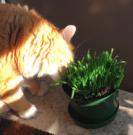 organic cat grass