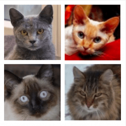 What cat breeds are best for allergies