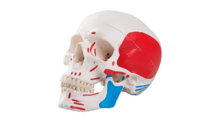 Classic Human Skull Painted. 3 Parts