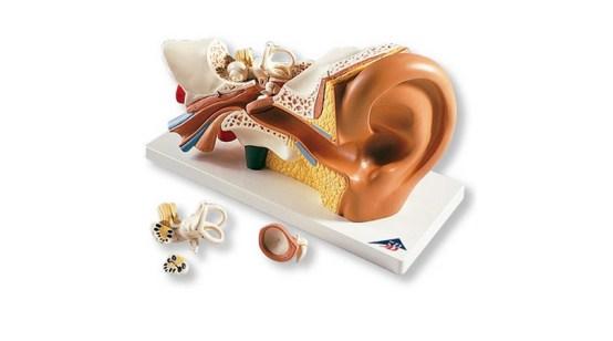4 Part Ear Model. 3x Life Size