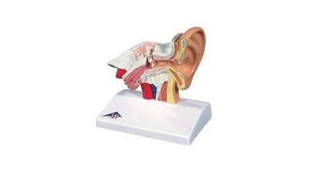 Ear Model For Desktop, 1.5 Times Life Size