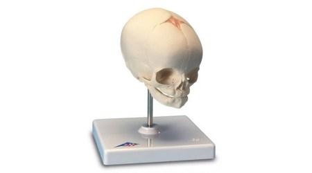Foetal Skull Model. 30th Week of Pregnancy