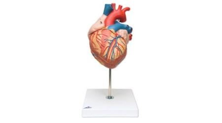 Heart; 2 times lifesize; 4 part