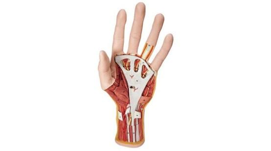 Internal Hand Structure Model 3 Part