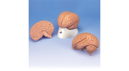 Introductory Brain; 2 part