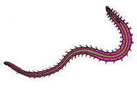Tubifex, a fresh water oligochaete, w.m. of adult worm
