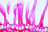 Root tip and root hairs, t.s. to show epidermal origin of root hairs