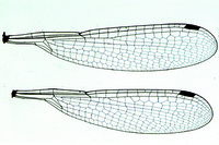 Zygoptera sp., damselfly, wings w.m.