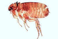 Aphaniptera