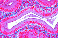 Simple columnar epithelium, in t.s. of small intestine