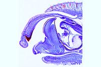 Snail, sagittal l.s. through the head showing the radula in situ