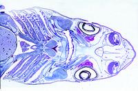Selachii - Cartilaginous fishes