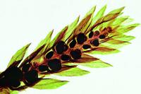 Selaginella, w.m. of strobilus *