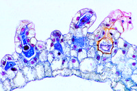 Prepared Microscope Slide. Fern prothallium
