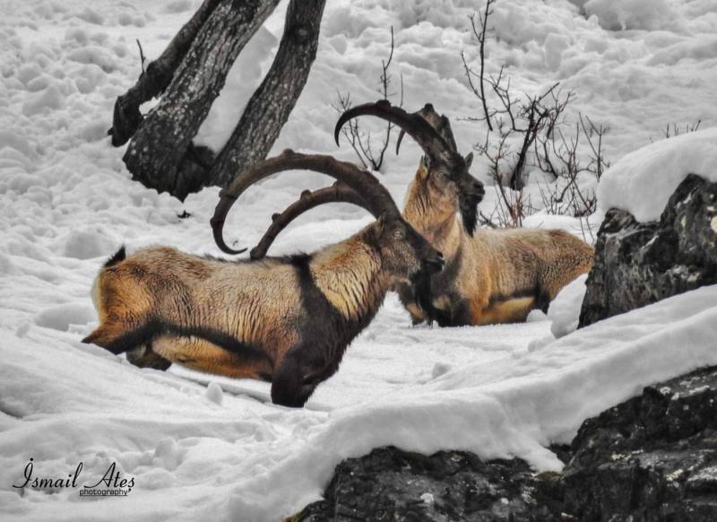 dersimdağ-şamua dağ keçisi.jpg