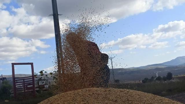 buğday tarla arpa indyTR (5).jpg