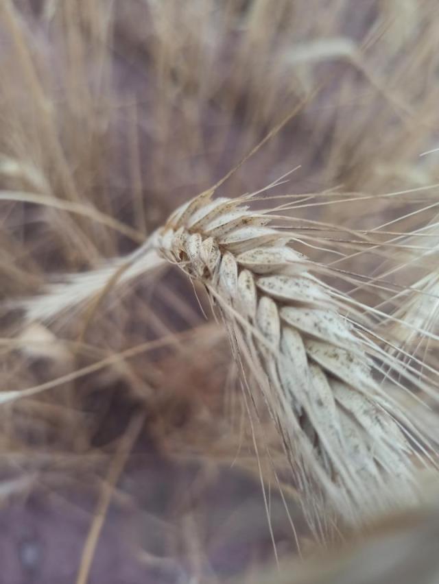 buğday tarla arpa indyTR (6).jpg