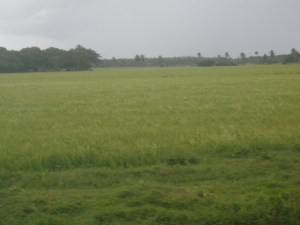 A field with rice in bearing stages on the Essequibo Coast.