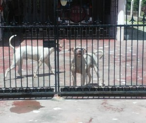 The Pit Bulls locked inside the yard. [iNews' Photo]