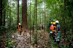 Men felling a tree at a logging company in the rainforest in Guyana