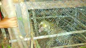The seven foot, 300-pound jaguar caught in the trap at Mainstay