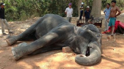 The elephant's death has prompted thousands of people to sign a petition against the animals' use in tourism