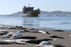 The sardines washed up on a river in southern Chile