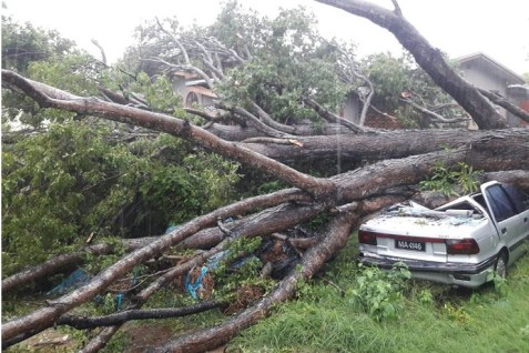 There were several reports of downed trees and poles crashing into vehicles. (Photo credit: Barbados Today)