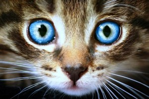 cats-big-blue-eyes-cat-animals-free-wallpapers-736x491