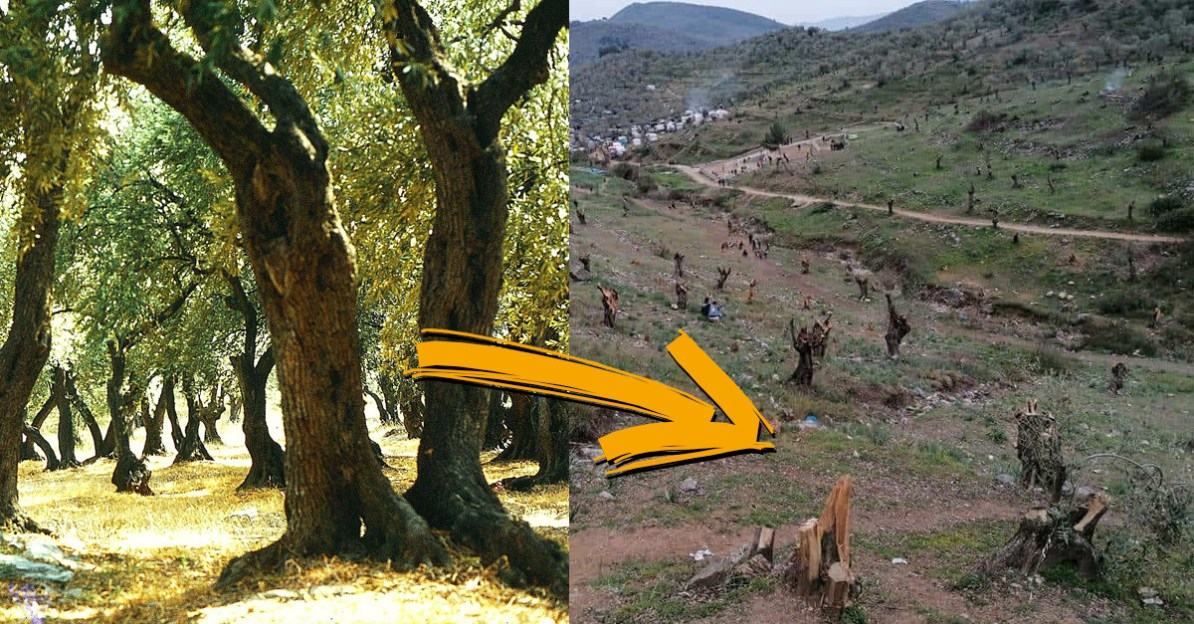 Angeblich sollen Migranten auf der griechischen Insel Lesbos schon tausende Olivenbäume zerstört haben.