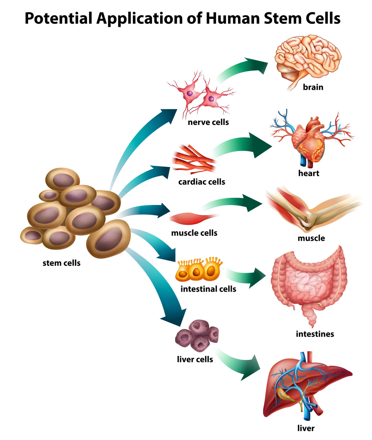 Stem Cells And High Blood Pressure