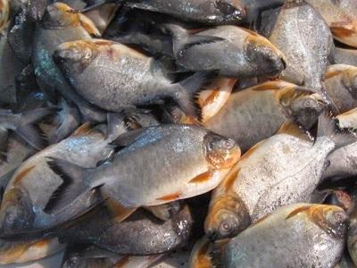 Tips Cepat Pembesaran Ikan Bawal Pada Budidaya Bawal
