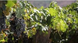 Con el apoyo de la comunidad local y de Minera Alumbrera, se comenzó a producir uvas de las variedades Malbec y Syrah.