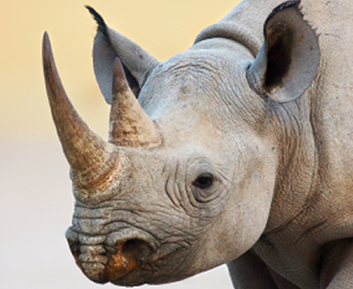 Saisie De Cornes De Rhinocéros En Thaïlande